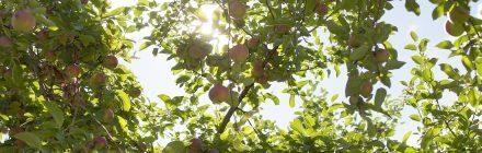 Laurentides pommes